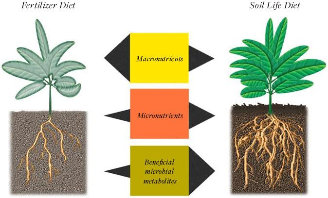 Endomycorrhizal