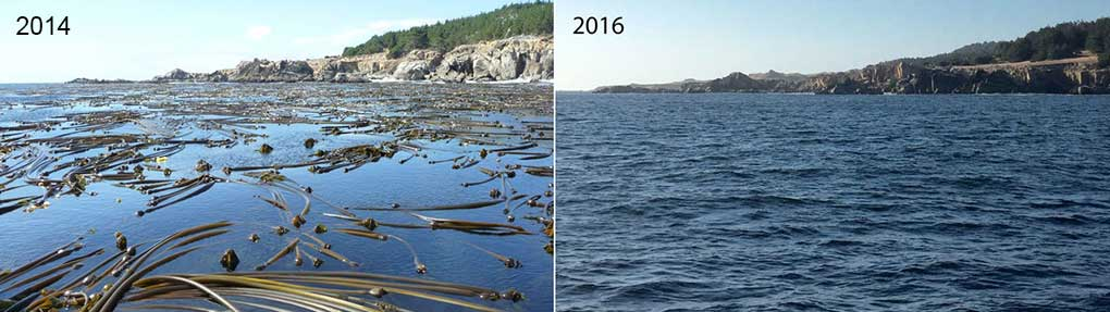Natural Kelp is Disappearing